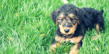 Airedale terrier (4)