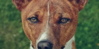 Basenji Kongo Terrier (3)