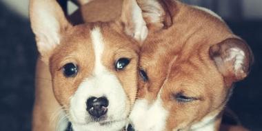 Basenji Kongo Terrier (4)
