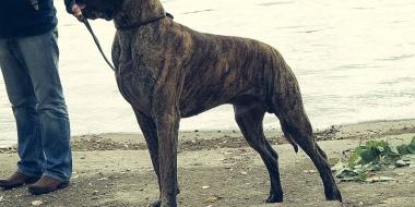 Dog niemiecki (3)