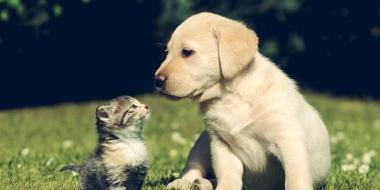 Labrador Retriever (1)