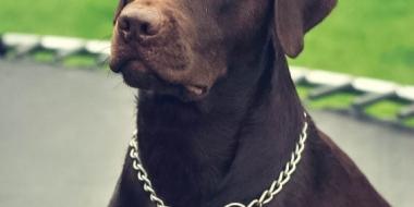 Labrador Retriever (4)