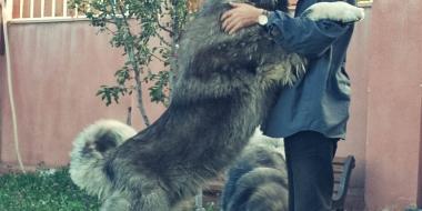 Owczarek kaukaski (5)